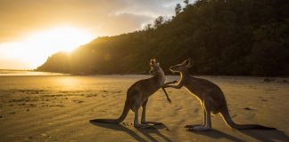 Kangaroos in Cape Hillsborough National Park, Cape Hillsborough, Australia.jpg