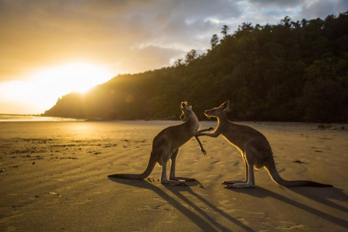Kangaroos in Cape Hillsborough National Park, Cape Hillsborough, Australia