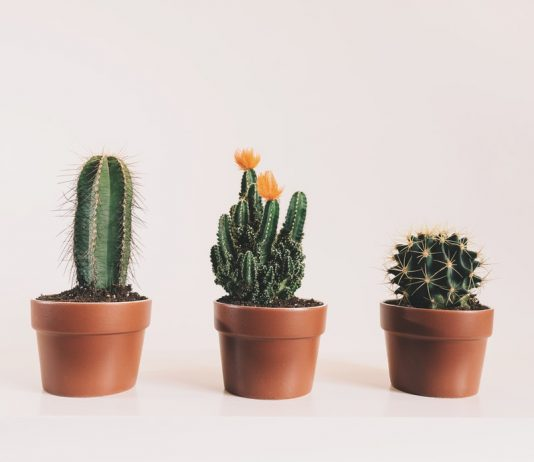 houseplants - cactus